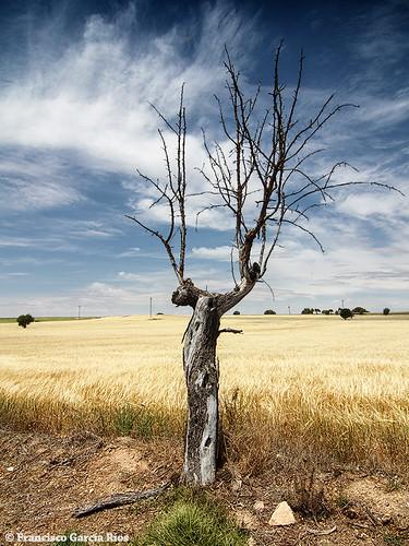 sky españa sun tree sol clouds dead spain cereal cielo nubes árbol campo seco lamancha trigo albacete wheatfield cropfield fuensanta recesvintus franciscogarcíaríos