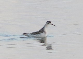 Red-necked Phalarope at the mudflats at Lost Bridge on the Great Miami River, OH