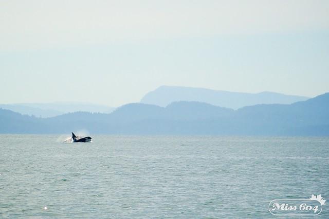Orcas/Killer Whales