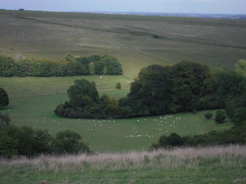 Sheep in Berwick Coombe