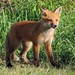 She's One Foxy Little Lady by Sara Turner Photography
