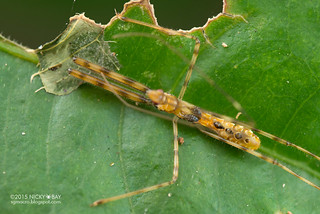 Assassin bug (Reduviidae) - DSC_2341