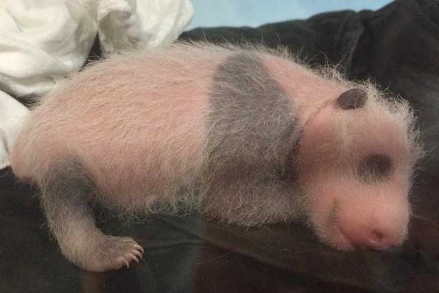 Giant panda cub exam Sept. 5