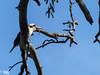 Kookaburra with legless lizard  dinner