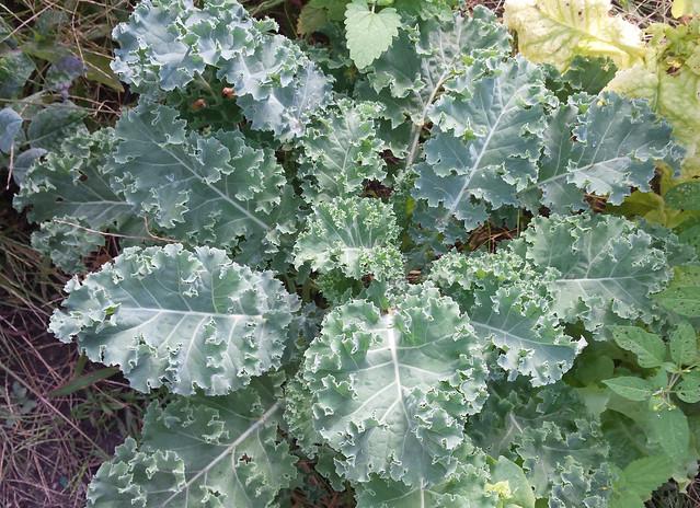 a big kale plant