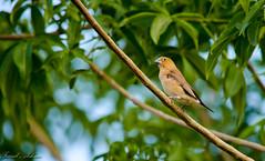 little bird ....
