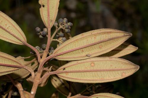 peru amazonas melastomataceae chachapoyas leymabamba fieldpicture abrabarronegro amazonasregion cerroscallacalla colmichelangeli1735 tamiconianeriifoliavarneriifolia