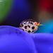 Ladybug Amphipod by Miqui Rosa