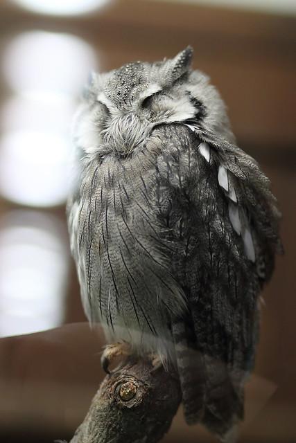 スピックコノハズク / Tropical Screech Owl