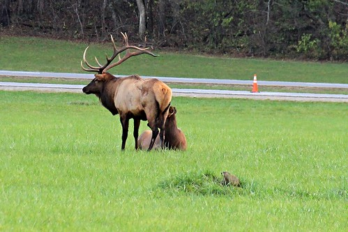 IMG_6735_Elk_Herd_at_Oconaluftee