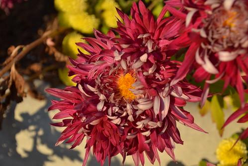 Chrysanthemum Cultivar