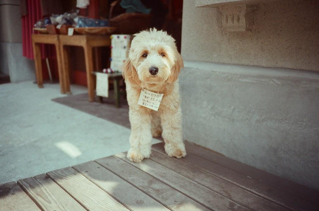 橫濱 Yokohama, Japan / Fujifilm 500D 8592 / Lomo LC-A+ 在橫濱中華街裡看到一隻狗,我一直也為是大型玩偶之類的,但沒想到是真的狗!  冷靜的看著我,我正在拍牠。  Lomo LC-A+ Fujifilm 500D 8592 7394-0036 2016-05-21 Photo by Toomore