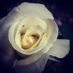 JFK Hybrid Tea Rose Blooming strongly after all the rain we received. #rose #flowers #plants #nature #garden #ig_garden #flowersofinstagram #flowerstagram #treestagram #rainbow_petals #plantstagram #ig_naturelovers #ig_naturepictures #ig_naturesbest @24ea