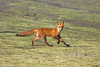 BJ8A6682-Red Fox by tfells