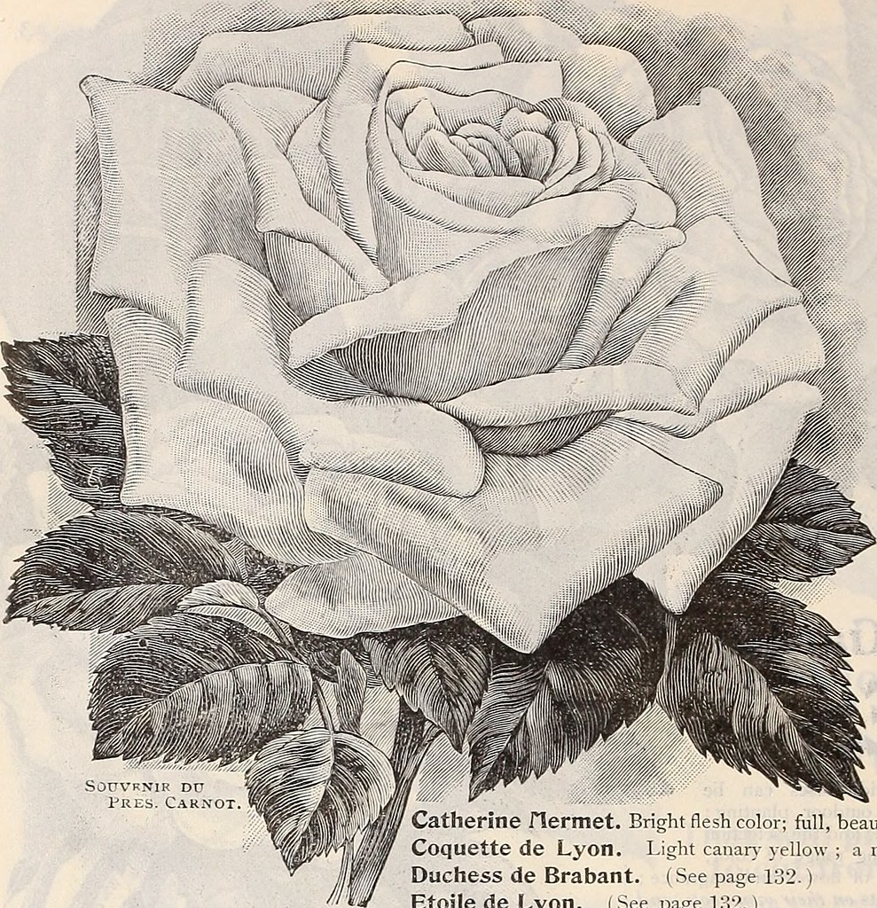 Image From Page 137 Of Dreers Garden Calendar 1899 1