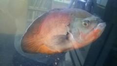 Eloy Library Fish - Oscar Eloy Santa Cruz