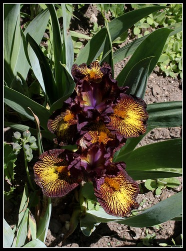 Iris nain Firestorm (2)