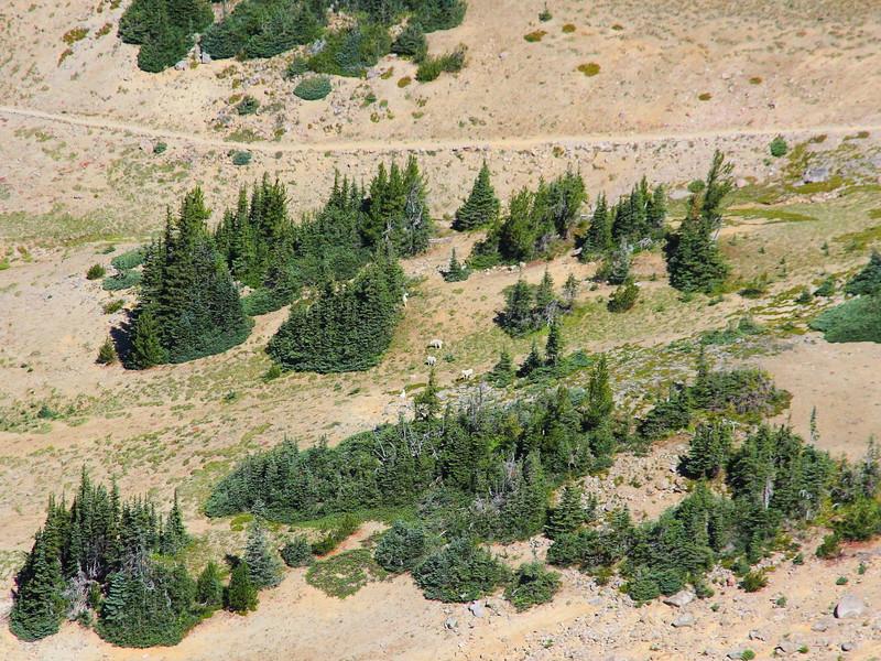 IMG_8552 Mountain Goats