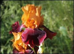 Iris 'Terre de Feu' - Richard Cayeux 1997 21193254555_67eb96abc1_m