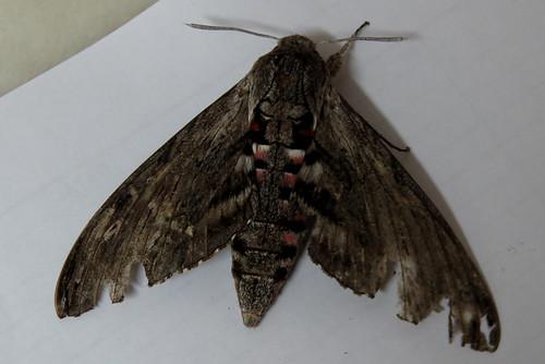 Convolvulus Hawk-moth Agrius convolvuli Loureiro September 2015