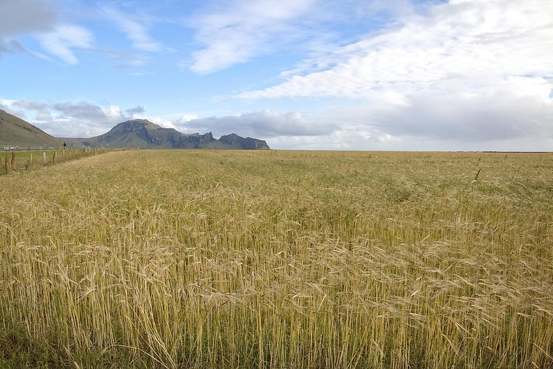 Wheat field in Iceland