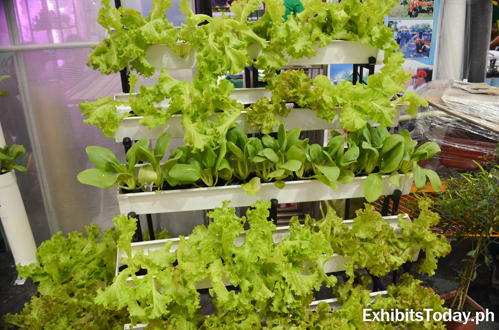 Fresh lettuce displays