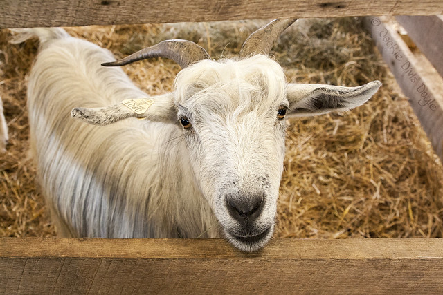 Smiley-goat