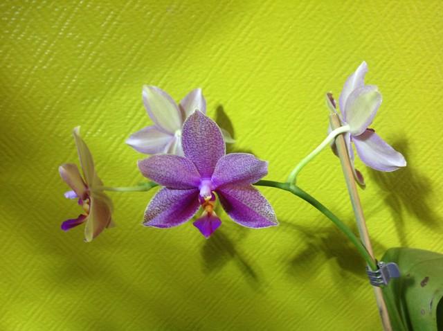 Floraison des orchidées de juin à........... 22577914499_42a6e2eecd_z