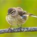 Palm Warbler ( Fluff ) by billkominsky 