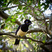 Plush-crested jay by ep_jhu