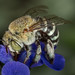 My first Blue Banded bee :) by affectatio
