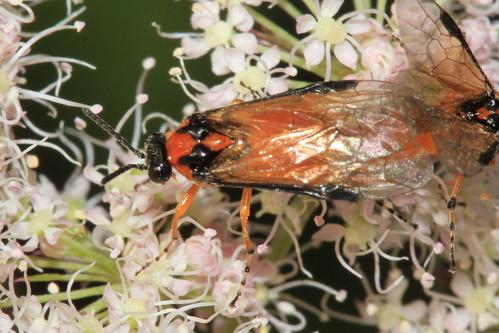Turnip Sawfly 3064
