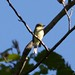 Nick Pulcinella has added a photo to the pool:Empidonax species Rushton Woods Preserve, Chester Co., PA  August 27, 2015Yellow-bellied vs Acadian Flycatcher. Nice pick-up by Kelley Nunn of this mostly still bird perched in the tree canopy. Empidonax type flycatcher mostly green above and yellowish below. Views were all from below. The yellowish color on the underparts extended in an unbreakable pattern from belly through to and including the throat. Lower mandible light orange through the entire length. Primary projection could not be appreciated from this angle and tail seemed short. Head was round with a clearly visible pale eyering that widened behind the eye. No vocalizations heard. In the field, the bird gave the impression of YBFL but after viewing the images, the subtleties that would rule out ACFL (head shape, eyeing shape & size and vested appearance) cannot be unequivocally eliminated.  ebird.org/ebird/view/checklist?subID=S24777405