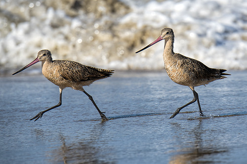 Playa del Rey: Marbled Godwits doing their Morning Walk