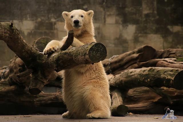 Eisbär Fiete im Zoo Rostock 05.09.2015  013