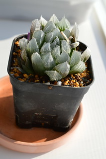 DSC_0699 交配種 Haworthia venusta x Haworthia obtusa(大窓)