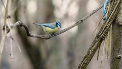 janvier, février 2015, Bois de Bàtie, Genève.oiseaux