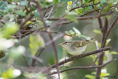 18雙斑綠柳鶯