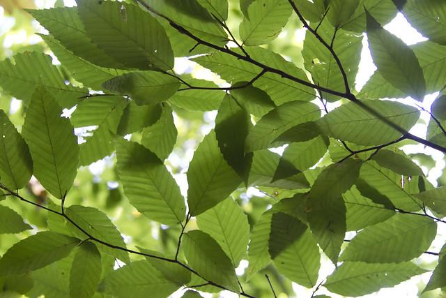 IMG_6788 Beech Leaves