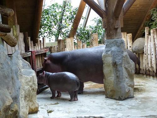 Flußpferde Zoo Karlsruhe