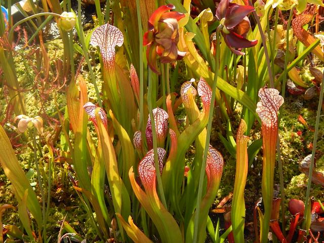 Sarracenia leucophylla hybrids