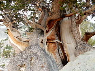 Bristlecone pine - Great Basin National