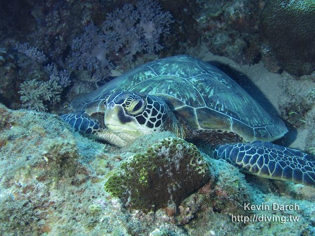 Green Turtle, XiaoLiuQiu