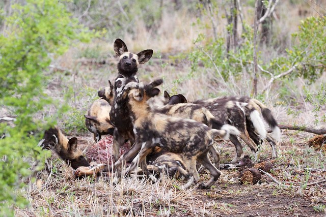 Playful killers- African Wild Dog (Lycaon pictus)