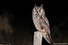 Bufo-pequeno, Long-eared Owl (Asio otus) by Vasco VALADARES