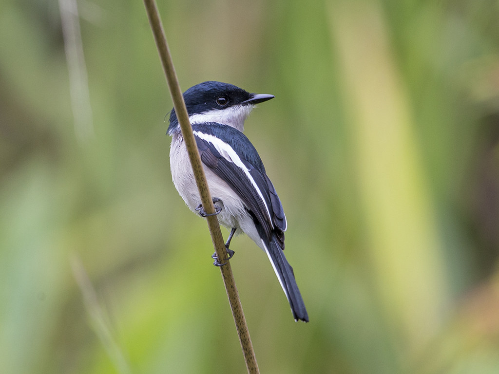 Bar-winged Flycatcher-shrike   Sri Lanka
