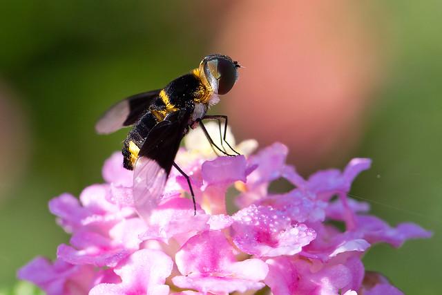 I'm not sure if this is a bee or wasp, but here she is on a flower :-D Tarrazú, Costa Rica