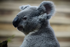 Koala Left Profile