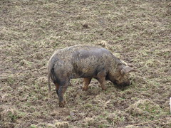 animal, peccary, wild boar, domestic pig, pig, grazing, fauna, pig-like mammal, wildlife,