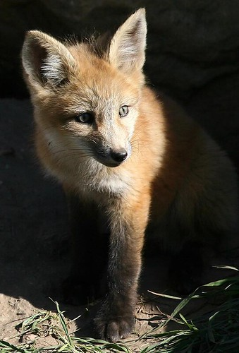 studio light for a fox portrait